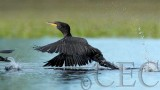 Double Crested Cormorant, 4Z035736 copy.jpg