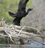 Double Crested Cormorant, 4Z035768 copy.jpg