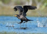 Double Crested Cormorant, Working to get airborne  4Z035849 copy.jpg
