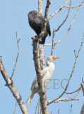 Leucistic Double-crested Cormorant, first reported by Kelly Kindelspire of Yakima Audubon   4Z9O2734 copy.jpg
