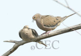 Mourning Doves 1/7   WT4P6113 copy.jpg