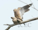 Mourning Doves, copulating 4/7     WT4P6119 copy.jpg