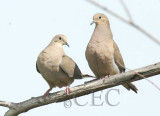 Mourning Doves 6/7   WT4P6123 copy.jpg
