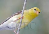 Curious Goldfinch on car antenna, Potholes state park  4Z064955 copy.jpg