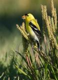 Goldfinch, San jaun Island  WT4P1707.jpg