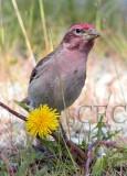 Cassin's finch male feeding on dandylion seeds  _EZ39683 copy.jpg
