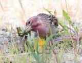Cassin's finch male feeding on dandylion seeds  _EZ39688 copy.jpg