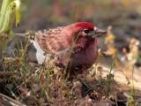 Purple finch  male, Bethyl Ridge  _EZ44168 copy.jpg
