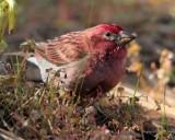 Purple finch  male, Bethyl Ridge  _EZ44171 copy.jpg