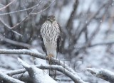 Sharp-shinned Hawk, Yakima    AEZ29597 copy.jpg