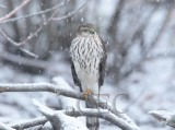 Sharp-shinned Hawk, Yakima   AEZ29609 copy.jpg