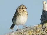 Juvenile Savannah Sparrow, San Jaun Island, early July  WT4P1710 copy.jpg
