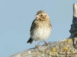 Juvenile Savannah Sparrow  WT4P1711 copy.jpg