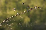 Tree Swallows AE2D9058 copy.jpg