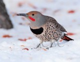 Northern Flicker with tongue out  4Z043301 copy.jpg