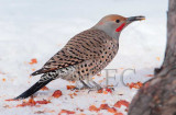 Northern Flicker with toungue out  4Z043308 copy.jpg