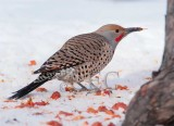 Northern Flicker with tongue out  4Z043311 copy.jpg