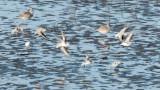 Sanderlings fly over Plovers  _EZ49662 copy.jpg