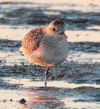 Plover at Sunset, (winter plumage)  _EZ46990 copy.jpg