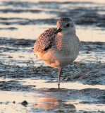 Plover at Sunset, (winter plumage)  _EZ46993 copy.jpg