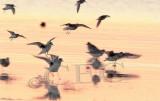 Plovers and Dunlin landing  _EZ47025 copy.jpg