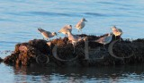 Plovers squabble at sunset (probably mostly Black-Bellied Plovers)  _EZ47649 copy.jpg