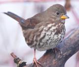 Fow Sparrow  AEZ30043 copy.jpg