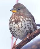 Fow Sparrow  AEZ30052 copy.jpg