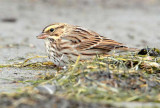 Savannah Sparrow keeps low profile, ( and not far from cover), while browsing for insects on ocean beach _EZ48018.jpg