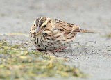Savannah Sparrow keeps low profile, ( and not far from cover), while browsing for insects on ocean beach _EZ48020 copy.jpg