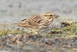 Savannah Sparrow keeps low profile, ( and not far from cover), while browsing for insects on ocean beach _EZ48026 copy.jpg
