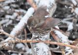Fox Sparrow in snow  _EZ51056 copy.jpg