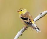 American Goldfinch transitioning to breeding plumage  _EZ20174.jpg