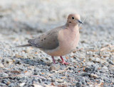 Mourning Dove 4Z027353 copy.jpg