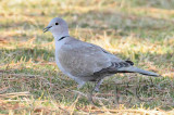 Eurasian Collared Dove  _EZ52083.jpg