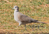 Eurasian Collared Dove  _EZ52091 copy.jpg