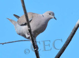 Eurasian Collared Dove  _EZ52123 copy.jpg