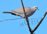 Eurasian Collared Dove  _EZ52127 copy.jpg