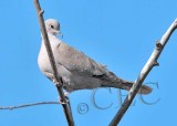 Eurasian Collared Dove  _EZ52133 copy.jpg