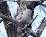 Eurasian Collared Dove  _EZ52135 copy.jpg