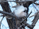 Eurasian Collared Dove  _EZ52137 copy.jpg