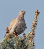 Eurasian Collared Dove  _EZ52144 copy.jpg