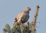 Eurasian Collared Dove  _EZ52151 copy.jpg