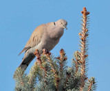 Eurasian Collared Dove  _EZ52157 copy.jpg