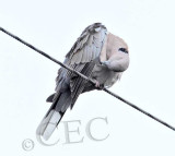 Eurasian Collared Dove  _EZ52187 copy.jpg