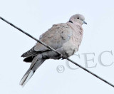 Eurasian Collared Dove  _EZ52192 copy.jpg