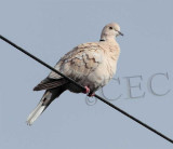 Eurasian Collared Dove, light colored form    _EZ52198 copy.jpg