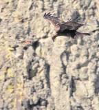 American Kestrel harassing Golden Eagle  AE2D6858 copy.jpg