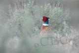 Pheasant spy, typical view  4Z027335.jpg