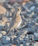 Horned Lark, juvenile plumage  AE2D9509 copy.jpg